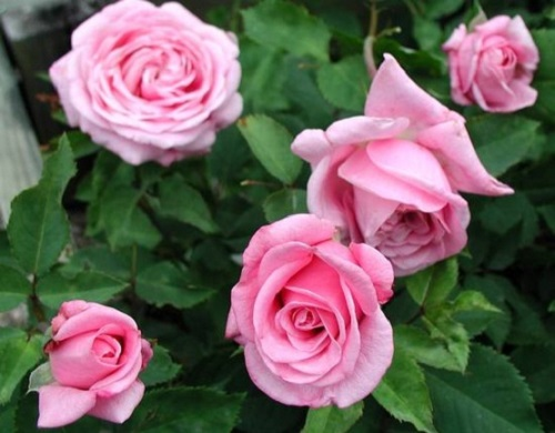 giai ma giac mo thay hoa hong