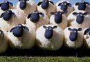 Phân tích ý nghĩa giấc mơ thấy con cừu