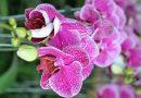 Mơ thấy hoa lan nở là may hay rủi