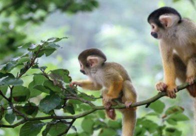 Ý nghĩa của giấc mơ thấy khỉ đột